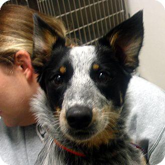 Australian Cattle Dog Dog for adoption in Manassas, Virginia - Zoey