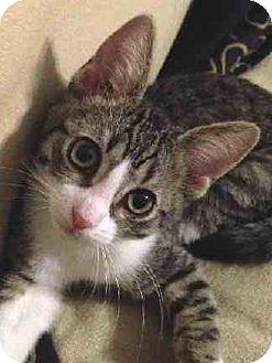 Domestic Shorthair Cat for adoption in Schertz, Texas - Planet