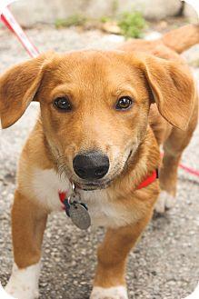 Corgi Mix Dog for adoption in Dallas, Texas - Corbin