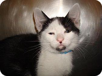 Domestic Shorthair Cat for adoption in Miami, Florida - Zack