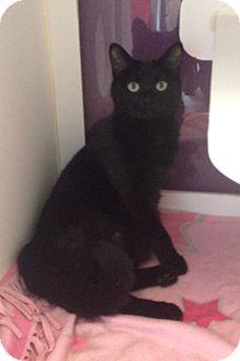 Domestic Shorthair Cat for adoption in Meridian, Idaho - Jules