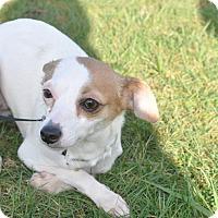 Adopt A Pet :: Lilly - Tumwater, WA