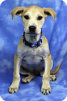 Shepherd (Unknown Type)/Labrador Retriever Mix Puppy for adoption in Westminster, Colorado - Benedicto