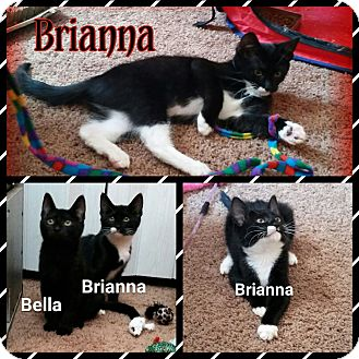 Domestic Shorthair Kitten for adoption in Atco, New Jersey - Brianna