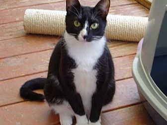 American Shorthair Cat for adoption in Land O Lakes, Florida - Judy
