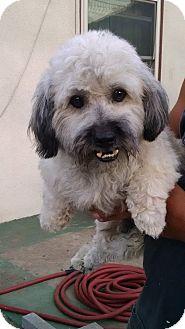 Cockapoo Mix Dog for adoption in San Diego, California - Purdy