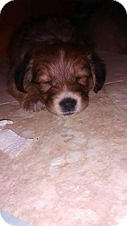 Sheltie, Shetland Sheepdog Mix Puppy for adoption in Lima, Pennsylvania - Callie
