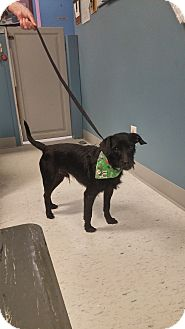 Jack Russell Terrier Mix Dog for adoption in Maryville, Illinois - Joey