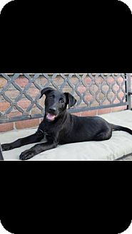 German Shepherd Dog/Labrador Retriever Mix Dog for adoption in Greeneville, Tennessee - Rogue