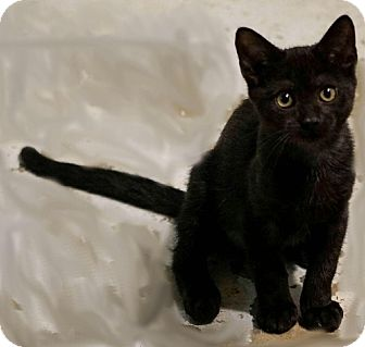 Domestic Shorthair Kitten for adoption in Morganville, New Jersey - Gemma