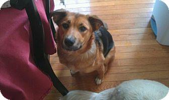 German Shepherd Dog/Australian Shepherd Mix Dog for adoption in House Springs, Missouri - Bell