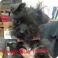 Adopt A Pet :: Peggy Sue - Greencastle, NC