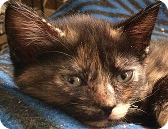 "Domestic Shorthair Kitten for adoption in Tucson, Arizona - Espresso - A ""Coffee Kitten"""