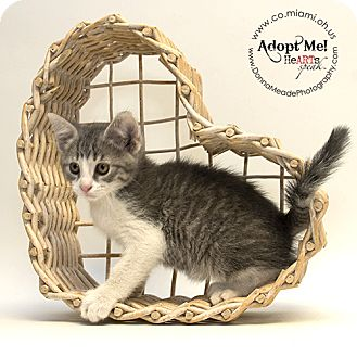 Domestic Shorthair Kitten for adoption in Troy, Ohio - Ernie