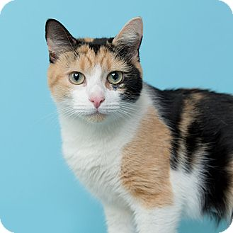 Domestic Shorthair Cat for adoption in Wilmington, Delaware - Hottie