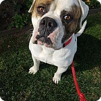 Adopt A Pet :: Jack - Beverly Hills, CA