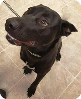 Labrador Retriever Mix Dog for adoption in Crown Point, Indiana - Chestnut