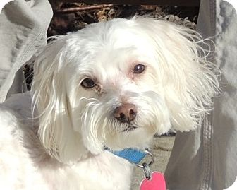 Maltese/Poodle (Miniature) Mix Dog for adoption in Washington, D.C. - Gino and Freckles