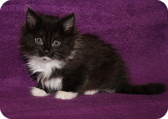 Domestic Mediumhair Kitten for adoption in Marietta, Ohio - Rain (spayed)