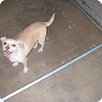 Adopt A Pet :: Honey - Buchanan Dam, TX