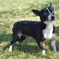 Chihuahua Mix Dog for adoption in Mountain Center, California - Tommy
