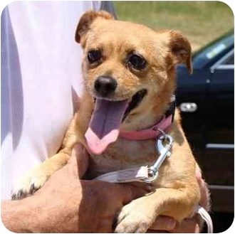 Chihuahua Mix Dog for adoption in Haughton, Louisiana - Dorsey