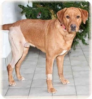 Labrador Retriever Mix Dog for adoption in Howell, Michigan - Max