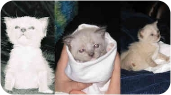 Siamese Kitten for adoption in Houston, Texas - Sumo