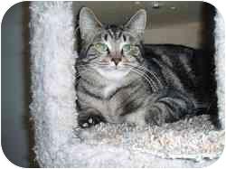 Domestic Shorthair Cat for adoption in Hamburg, New York - Buddy Boy