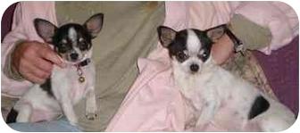 Chihuahua Puppy for adoption in Kokomo, Indiana - Ditto