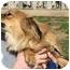 Photo 3 - Chihuahua/Dachshund Mix Dog for adoption in Mahwah, New Jersey - Atkins