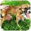 Photo 2 - Pug Mix Dog for adoption in Sugar Land, Texas - Sweet Pea