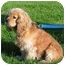 Photo 2 - Cocker Spaniel Dog for adoption in Rigaud, Quebec - Robbie