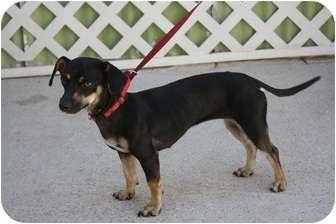 Dachshund/Terrier (Unknown Type, Small) Mix Dog for adoption in Edmonton, Alberta - Cora
