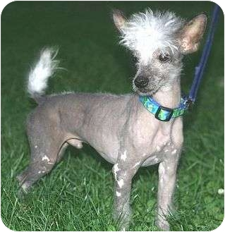 Chinese Crested Dog for adoption in Flag Pond, Tennessee - Sparrow