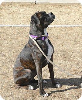 Boxer Dog for adoption in Gardnerville, Nevada - Kahlua