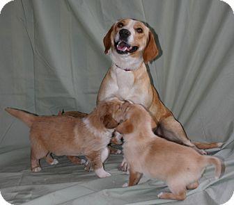 Golden Retriever/Labrador Retriever Mix Dog for adoption in Oviedo, Florida - Mackenzie