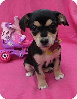 Dachshund/Jack Russell Terrier Mix Puppy for adoption in Irvine, California - Kat Von Devious