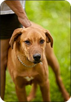 Golden Retriever/Hound (Unknown Type) Mix Dog for adoption in Colville, Washington - Canto