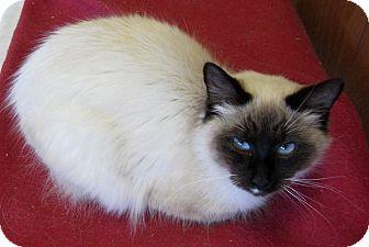Siamese Cat for adoption in Mobile, Alabama - Samantha