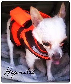Chihuahua Dog for adoption in McKinney, Texas - Haymitch