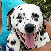 Dalmatian Dog for adoption in Gardena, California - Cindy - Seeking Sponsors