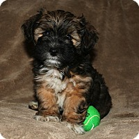 Adopt A Pet :: Artemis - La Habra Heights, CA