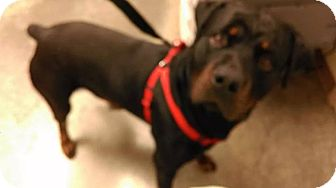 Rottweiler Dog for adoption in Evansville, Indiana - Rocky- Pure