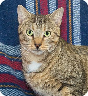 Domestic Shorthair Cat for adoption in Elmwood Park, New Jersey - Carter