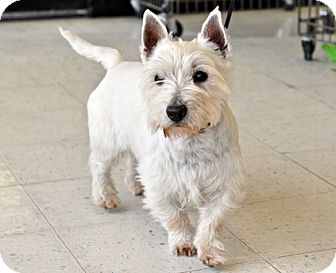 Westie, West Highland White Terrier Dog for adoption in Great Falls, Montana - Starsky