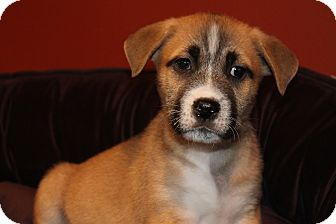 Shepherd (Unknown Type) Mix Puppy for adoption in Los Angeles, California - Kiki