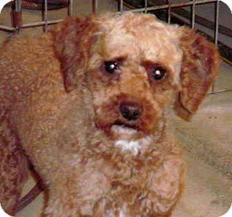 Miniature Poodle Dog for adoption in Liberty Center, Ohio - Pongo
