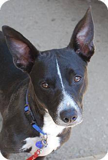 Corgi/Border Collie Mix Dog for adoption in Los Angeles, California - Keanu