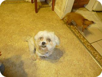 Maltese Mix Dog for adoption in Glastonbury, Connecticut - TeeTo